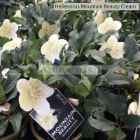Helleborus Mountain Beauty Cream
