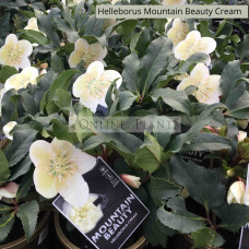 Helleborus Mountain Beauty Cream