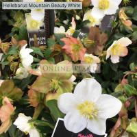 Helleborus Mountain Beauty White