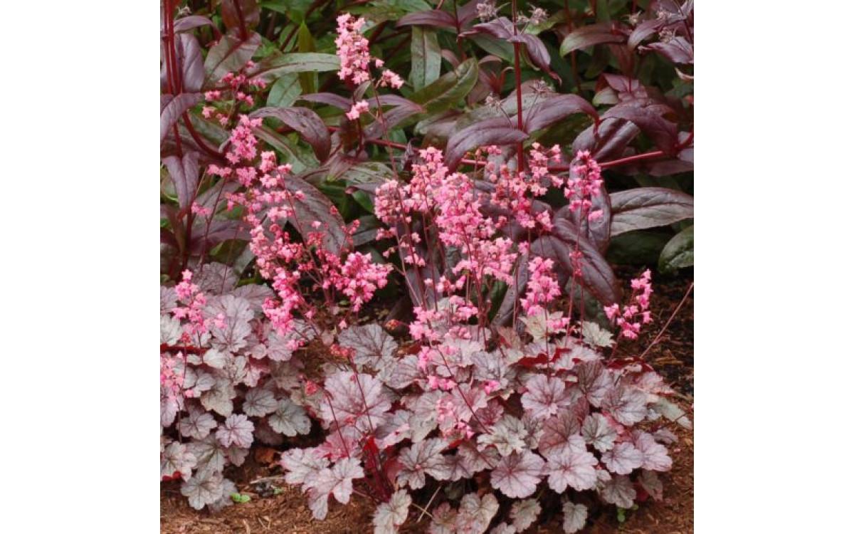 Brighten Up Your Garden With Heuchera