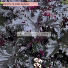 Heuchera Black Taffeta