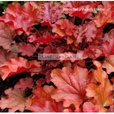 Heuchera Peach Flame