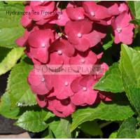 Hydrangea Tea Time™ Pink
