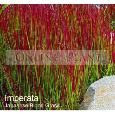 Imperata cylindrica Japanese Blood Grass