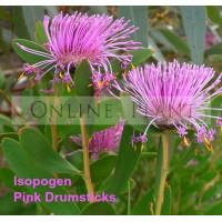 Isopogon Pink Drumstick