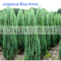 Juniperus  Blue Arrow