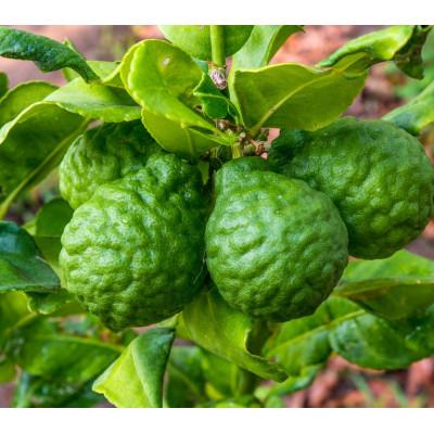 Citrus Tree Kaffir Lime