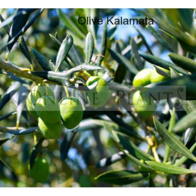 Olea Kalamata Olive