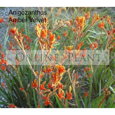Anigozanthos Kangaroo Paw Amber Velvet