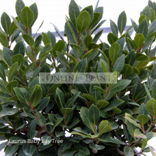Laurus dwarf Baby Bay Tree