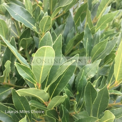 Laurus Nobilis Miles Choice Bay Tree