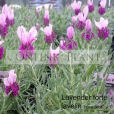 Lavender Forte Javelin Deep Rose