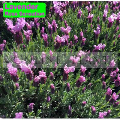 Lavender Rose Sensation
