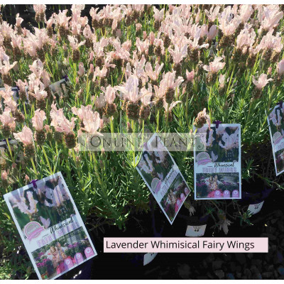 Lavender Whimsical Fairy White