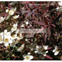 Leptospermum Burgundy