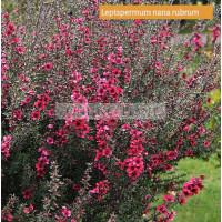 Leptospermum Nana Rubrum