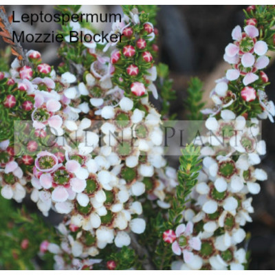 Leptospermum Mozzie Blocker