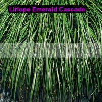 Liriope Emerald Cascade