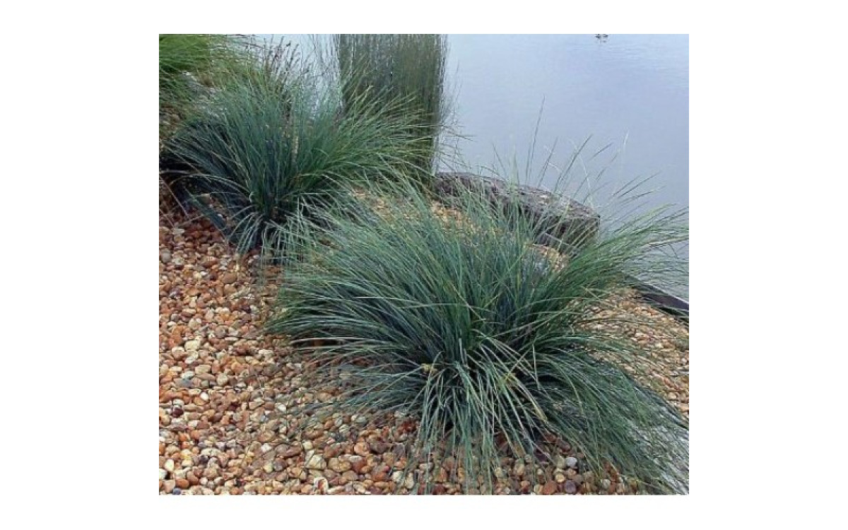 What Are The Most Recommended Varieties Of Lomandra?