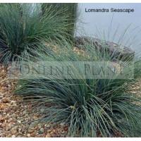 Lomandra Seascape