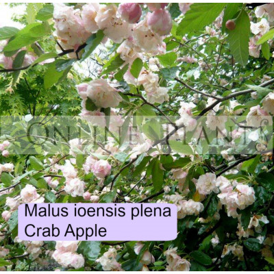 Malus Ioensis Plena