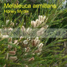 Melaleuca Armillaris Honey Myrtle