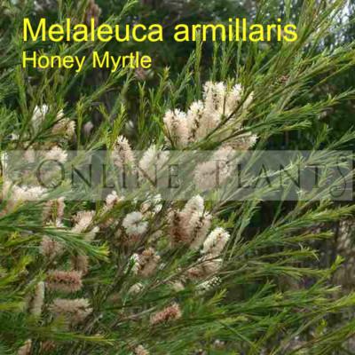 Melaleuca Armillaris Honey Myrtle