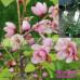 Michelia Fairy Blush Magnolia