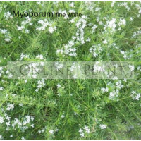 Myoporum parvifolium fine white