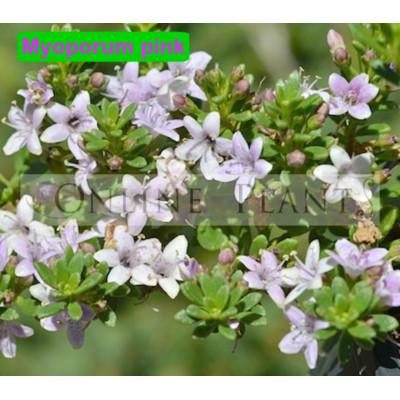 Myoporum Parvifolium fine leaf pink