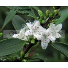 Myoporum Viscosum