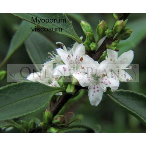 Myoporum Viscosum For Sale Online Plants Melbourne Australia
