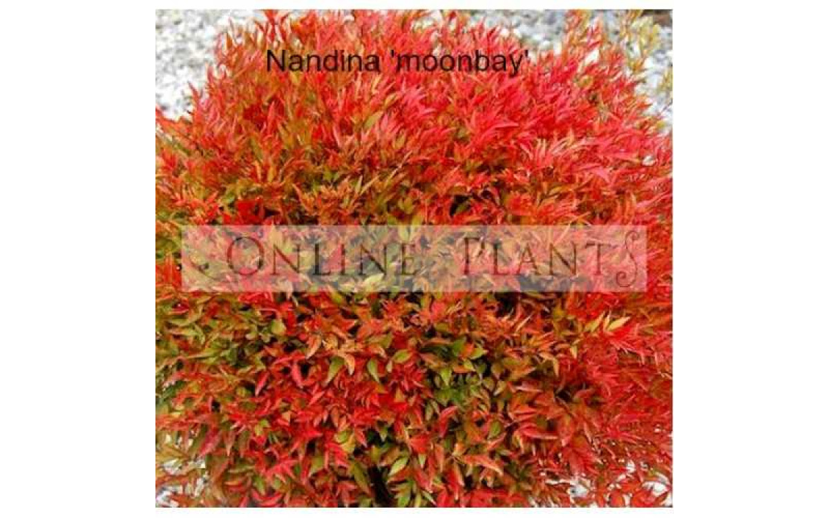 What Are the Most Popular Varieties of Nandina Plant?