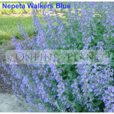 Nepeta Walkers Blue Catmint