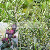 Olea Europaea Manzanillo Olive
