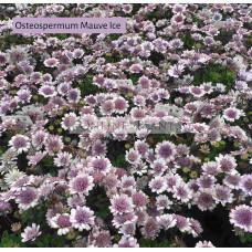 Osteospermum Mauve Ice