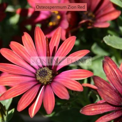 Osteospermum Zion Red