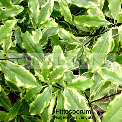 PIttosporum eugenioides 'Variegatum'