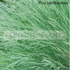 Poa Labillardieri Common Tussock