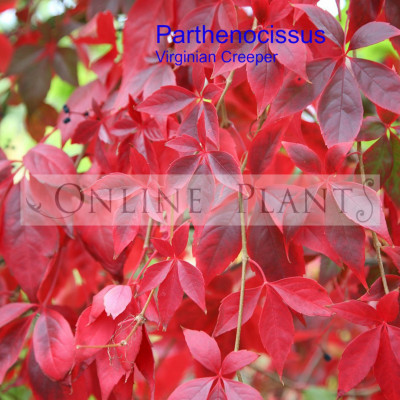 Parthenocissus quinfiloia Virginian Creeper