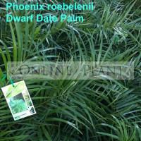 Phoenix roebelenii Palm Dwarf Date Palm