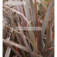 Phormium Bronze Baby