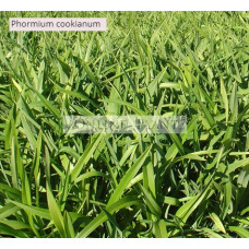Phormium Mountain Flax cookianum