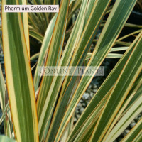 Phormium Flax Golden Ray