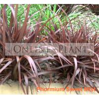 Phormium Flax Sweet Mist