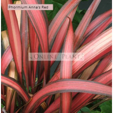 Phormium tenax Anna Red Flax
