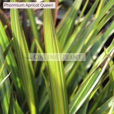 Phormium Flax Apricot Queen