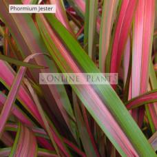 Phormium Flax Jester