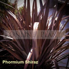 Phormium Flax Shiraz