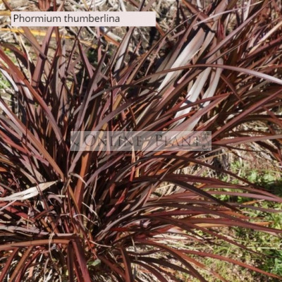 Phormium Flax Thumberlina